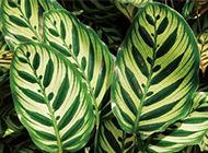 卧室吸灰尘的植物孔雀竹芋图片