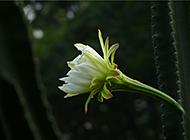 量天尺龙骨花植物图片欣赏