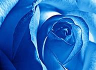 妖艳的蓝色玫瑰高清壁纸