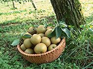 美味可口的水果梨子图片