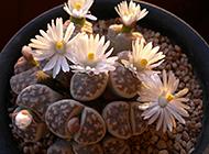 世界奇特的植物之一生石花图片