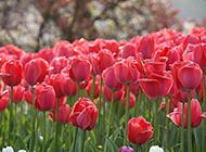 红色的郁金香图片素材