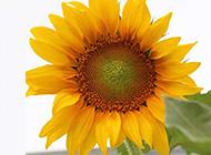 孤独的向日葵摄影图片