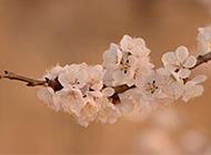 绽放的杏花高清图片素材