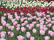 淡雅唯美的郁金香花海图片