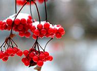象征着爱情的相思红豆植物图片