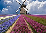 五彩斑斓的草本植物风信子图片