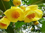 我国珍稀濒危的植物金花茶图片欣赏