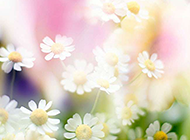 唯美小清新菊花摄影图片