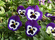 五彩斑斓的蝴蝶花高清图片