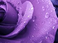暗香疏影的紫色玫瑰花图片