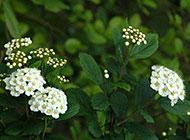 野外的绣线菊花图片欣赏