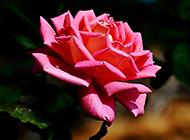 绽放的美艳粉玫瑰高清大图