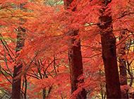生机勃勃的红枫树林风景图片