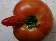 很邪恶的西红柿图片