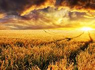 黄昏下的田野水稻风景图片