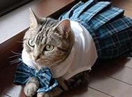 苏格兰风情猫动物搞笑图片