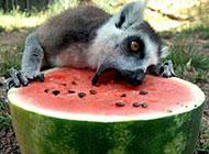 偷吃西瓜的动物爆笑图片