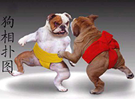 狗狗也玩相扑爆笑图片