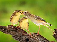 可爱鸟儿喂食高清动物壁纸