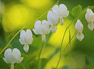 白色的铃兰花高清护眼壁纸