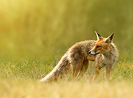 狡猾的狐狸动物壁纸高清超大图