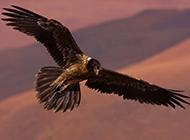 在空中飞翔的老鹰图片欣赏