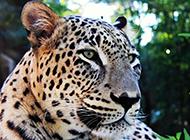 眼神凶猛的豹子高清动物壁纸图片