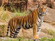 野外凶猛的老虎图片