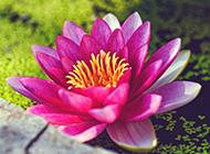 粉色的睡莲花超清壁纸