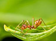 可爱的小昆虫蚂蚁摄影图片