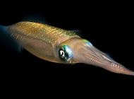 深海大章鱼软体动物图片