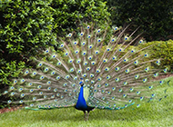 绚丽多彩的孔雀开屏图片