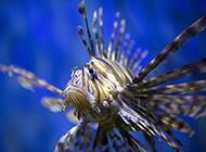 深海狮子鱼超清特写图片