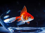 美丽的金鱼摄影图片欣赏