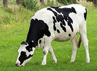 牧场上的奶牛高清图片欣赏