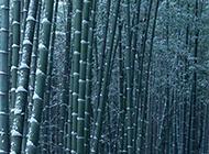 苍白的雪中竹林高清照片