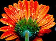 雨后鲜花微距摄影图片