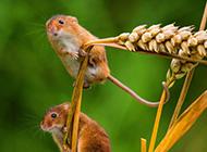 站在麦穗上的矮鼠图片欣赏