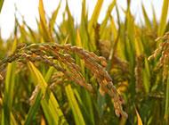 秋天成熟的稻穗图片
