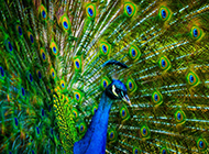 漂亮的孔雀高清图片欣赏