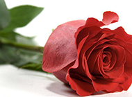 一支火红的玫瑰花特写图片