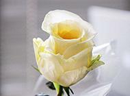 纯洁的唯美白玫瑰图片