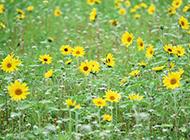 野外的黄菊花摄影图片