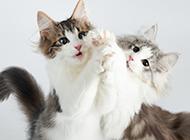 爱跳舞的可爱萌猫咪图片