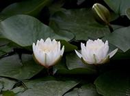 美丽的白莲花实拍图片