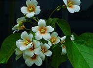 唯美的白色桐花图片赏析
