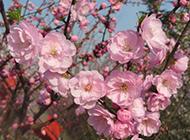 春天盛开的桃花实拍图片