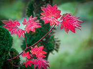 秋天的红色枫叶风景图片