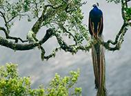 树枝上的孔雀图片欣赏